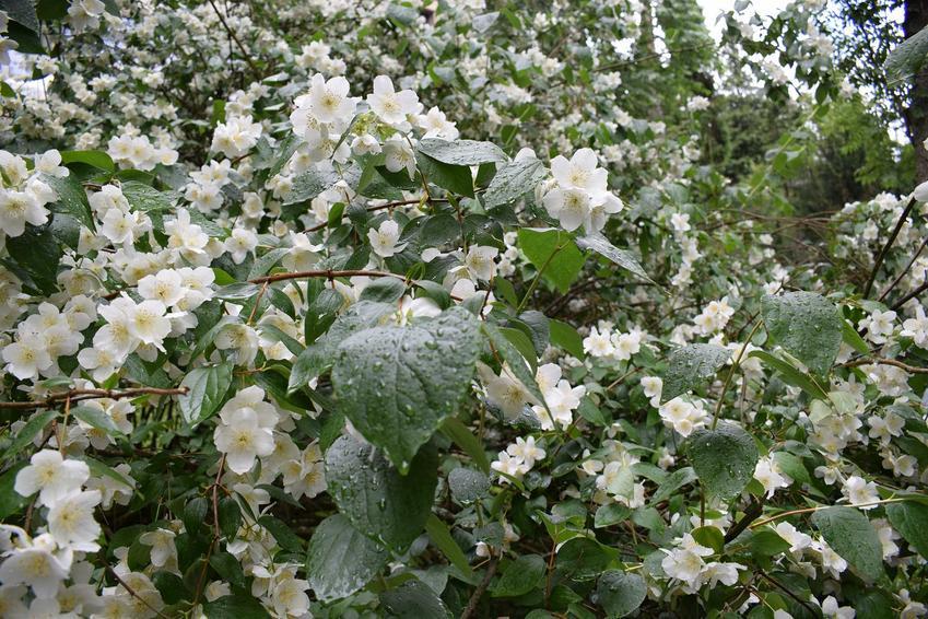 Jaśminowiec wonny czy też jaśminowiec pachnący w czasie kwitnienia oraz jego odmiany, a także uprawa i pielęgnacja