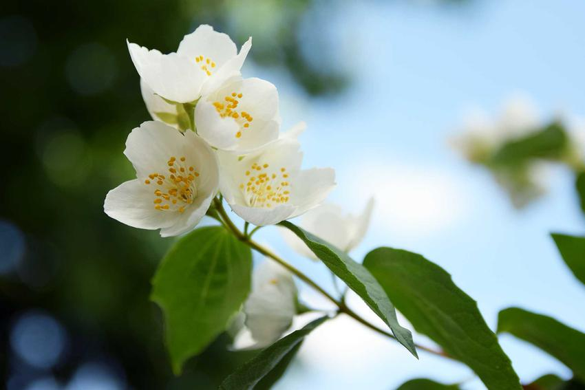Jaśminowiec wonny czy też jaśminowiec pachnący w czasie kwitnienia, czyli odmiany, warunki uprawy, stanowisko, wymaganiai pielęgnacja