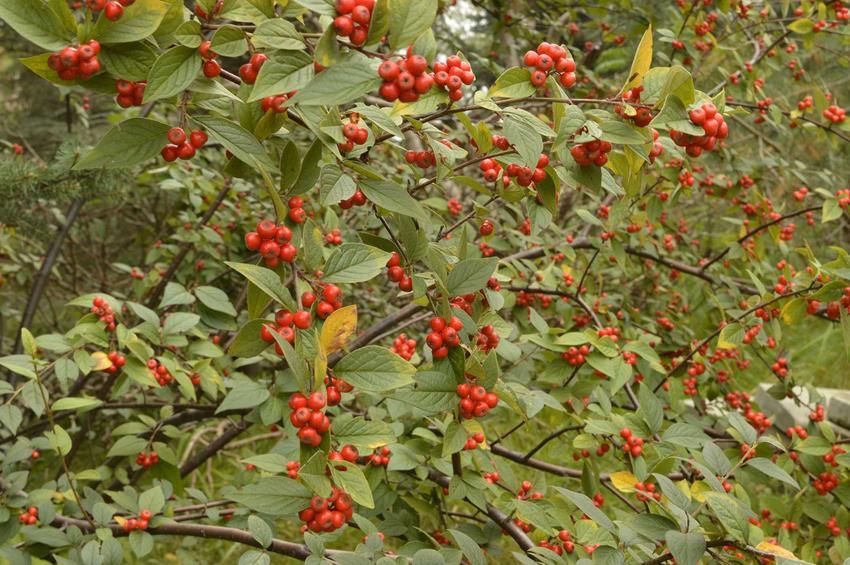 Krzew irga w ogrodzie w czasie owocowania oraz jego uprawa i popularne odmiany, które dobrze sprawdzają się w ogrodzie