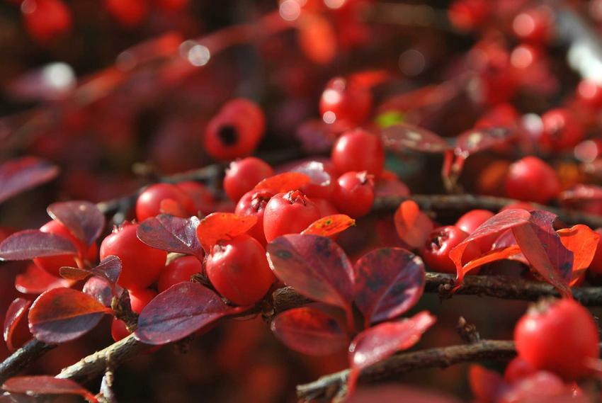 Krzew irga w ogrodzie w czasie owocowania oraz jego uprawa i najbardziej popularne odmiany w ogrodzie