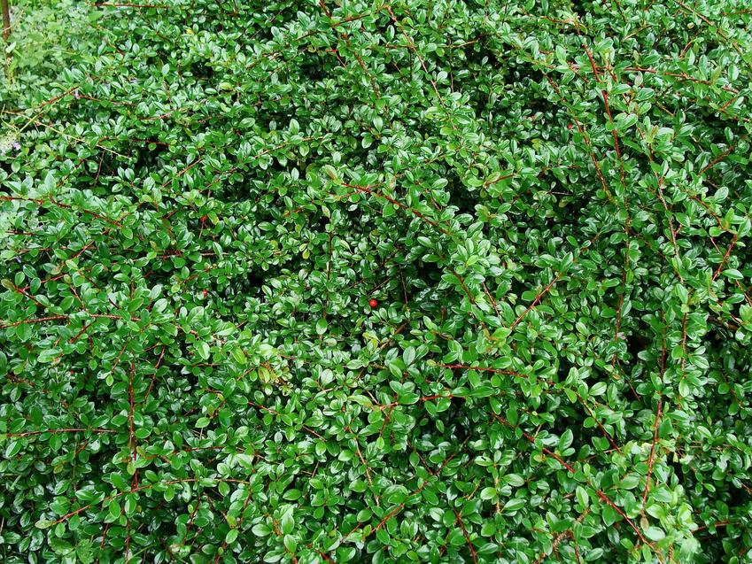 Krzew irga w ogrodzie z zielonymi liśćmi oraz jego pielęgnacja, uprawa, sadzenie i podlewanie w ogrodzie