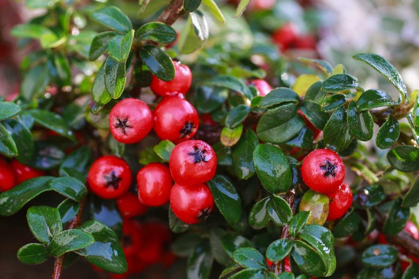 Irga pozioma czy też irga płożąca w czasie owocowania w ogrodzie oraz uprawa irgi poziomej, a także jej odmiany