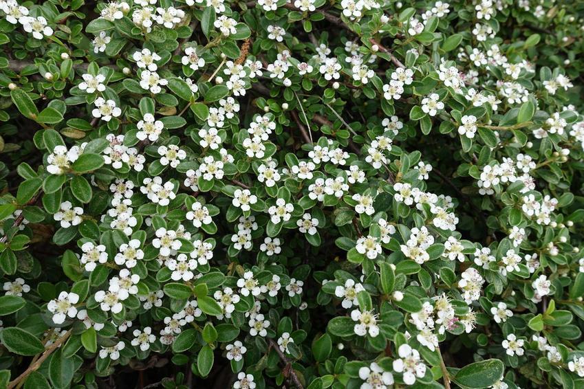 Irga pozioma czy też irga płożąca w czasie kwitnienia na biało w ogrodzie oraz uprawa irgi poziomej, a także jej odmiany