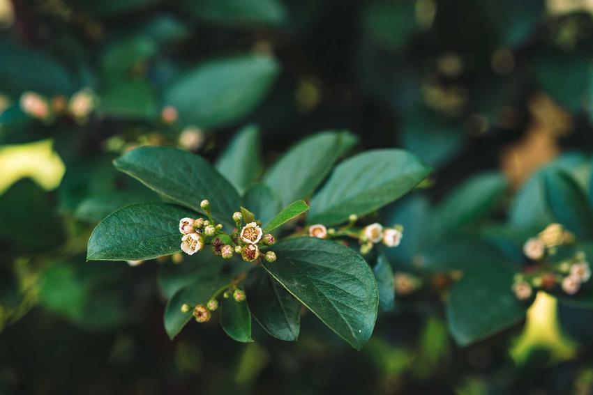 rga błyszcząca na żywopłot w czasie kwitnienia oraz sadzonki irgi, jej uprawa i pielęgnacja jako żywopłot z irgi błyszczącej