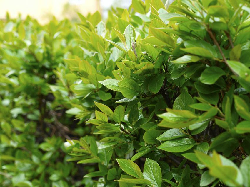 Irga błyszcząca zimozielona na żywopłot oraz sadzonki irgi, jej uprawa i pielęgnacja krok po kroku oraz zastosowanie w ogrodzie