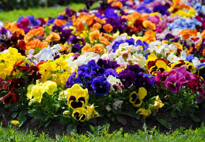 Bratki lub fiołki w ogrodzie jako kolorowe kwiaty ogrodowe oraz ich uprawa i pielęgnacja, stanowisko i wymagania krok po kroku