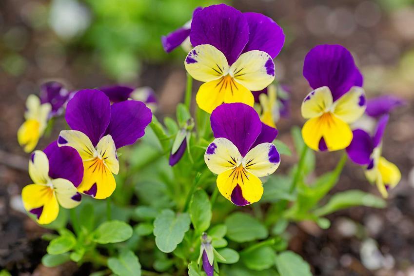 Kwiatki bratki czy też fiołki w czasie kwitnienia jako interesujące kwiaty ogrodowe, a także ich uprawa i pielęgnacja