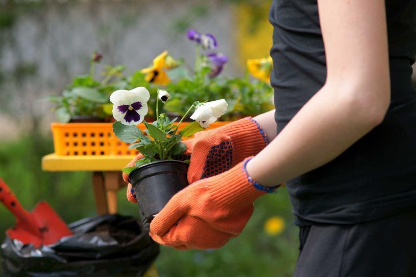 Bratki czy też fiołki podczas sadzenia jako interesujące kwiaty ogrodowe, a także ich uprawa, pielęgnacja oraz wymagania