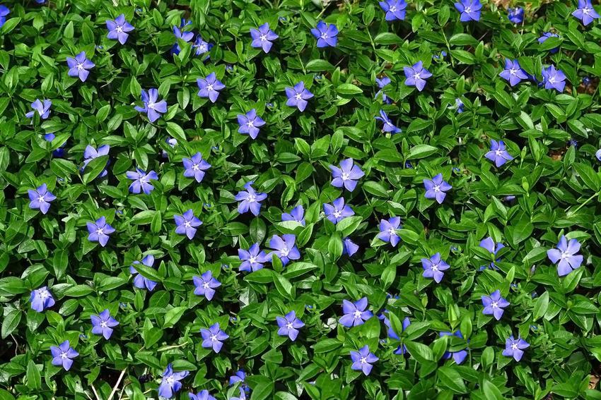 Kwiat barwinek pospolity w czasie kwitnienia na niebiesko w ogrodzie oraz jego uprawa i pielęgnacja dla początkujących ogrodników