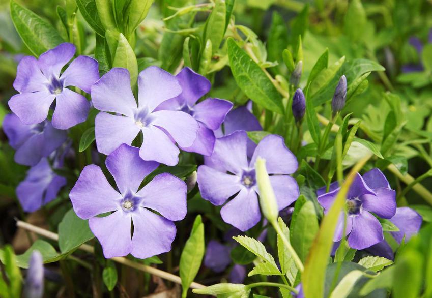 Kwiat barwinek pospolity w czasie kwitnienia na niebiesko w ogrodzie, a także jego uprawa i pielęgnacja, zastosowanie i wykorzystanie
