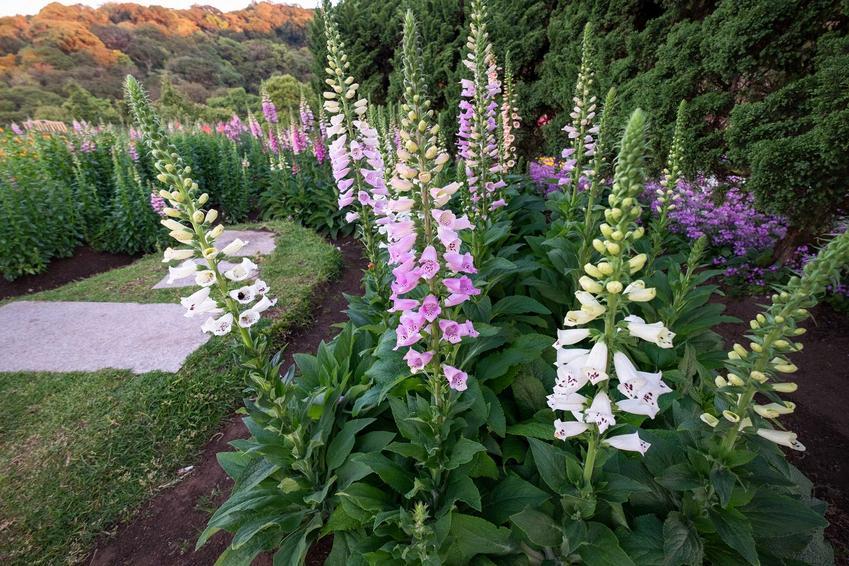 Naparstnica purpurowa czy też naparstnica zwyczajna w czasie kwitnienia w ogrodzie oraz jej uprawa i pielęgnacja