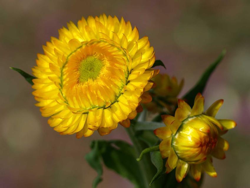 Kocanka w czasie kwitnienia w ogrodzie oraz odmiany kocanki, w tym kocanka piaskowa, i zastosowanie kocanki