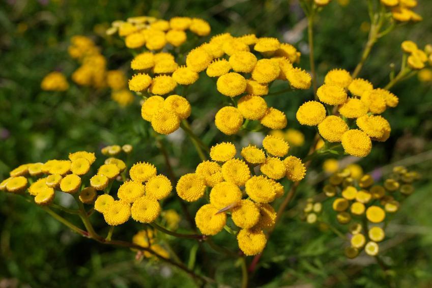 Kocanka piaskowa w czasie kwitnienia w ogrodzie oraz odmiany kocanki i zastosowanie kocanki w ogrodzie i na rabaty