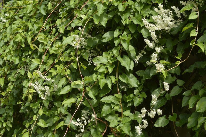 Rdest Auberta czy też rdestówka Auberta jako interesujące pnącze oraz jego sadzonki, uprawa i pielęgnacja w ogrodzie