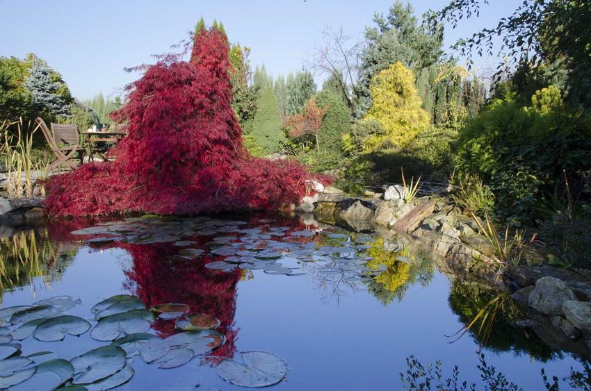Pięknie zaaranżowane oczko wodne w ogrodzie oraz polecane rośliny wodne do oczka wodnego, a także sadzenie i pielęgnacja roślin wodnych