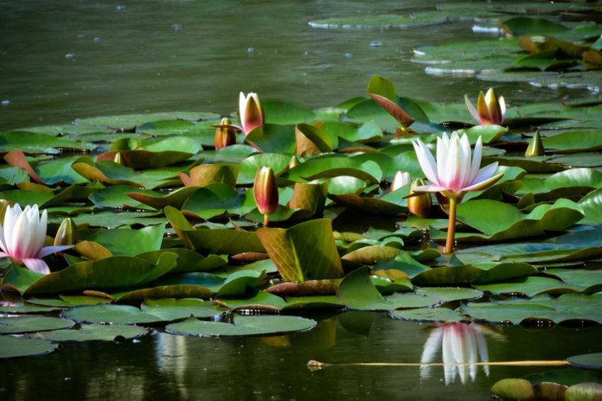 Lilie, czyli pływajace rośliny do oczek wodnych oraz inne rośliny wodne i ich gatunki, a także sadzenie i pielęgnacja