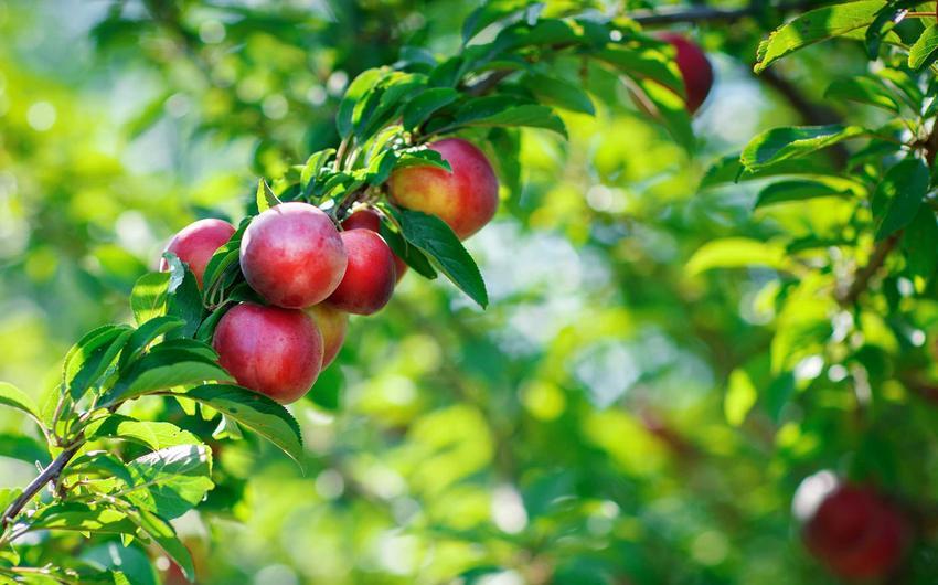 Nektarynka dojrzewająca na drzewie oraz uprawa nektarynek, czyli nektarynka w Polsce w uprawie krok po kroku