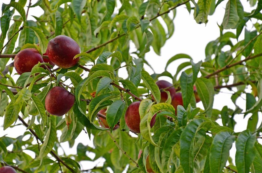 Nektarynka w Polsce dojrzewająca na drzewie oraz uprawa nektarynek i sadzenie nektarynki w ogrodzie krok po kroku