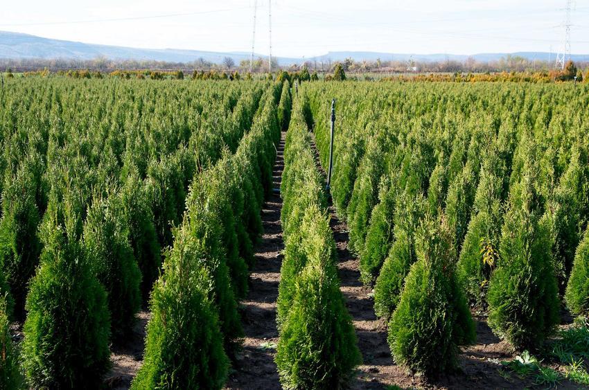 Tuja szmaragd powsadzona w równych odstępach oraz jej sadzenie i uprawa w ogrodzie