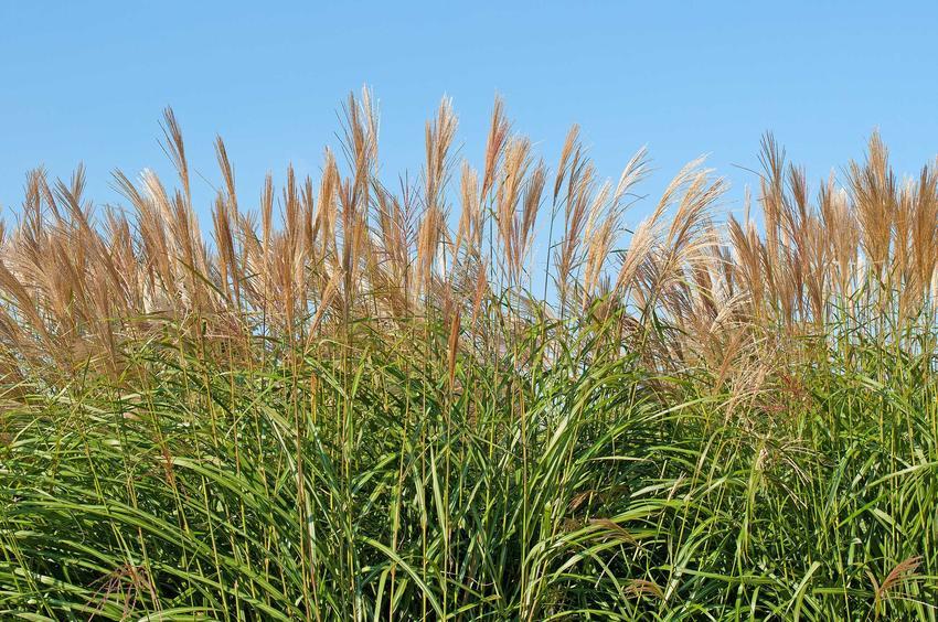 Miskant cukrowy z łaciny Miscanthus sacchariflorus lub inaczej trawa cukrowa oraz jej uprawa i pielęgnacja w ogrodzie