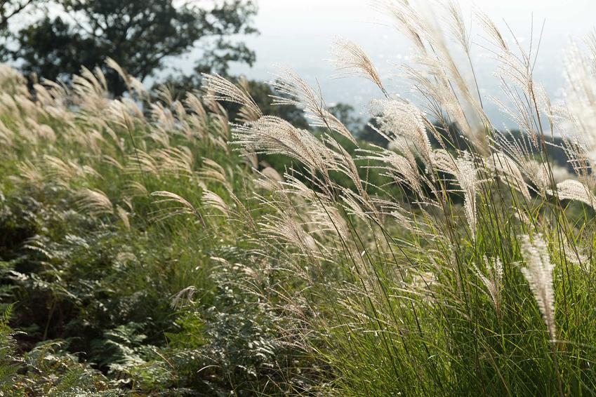 Miskant chiński Morning light jako trawa ozdobna w ogrodzie oraz jego uprawa i pielęgnacja, wymagania oraz sadzenie na rabacie