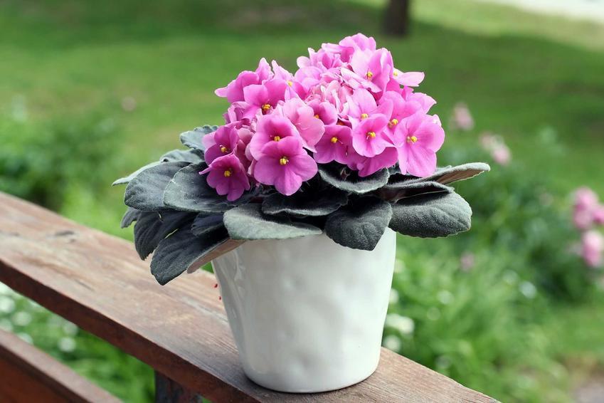 Fiołek afrykański w doniczce w czasie kwitnienia różowmy kwiatami oraz jego uprawa, pielęgnacja i rozmnażanie, odmiany sępolii