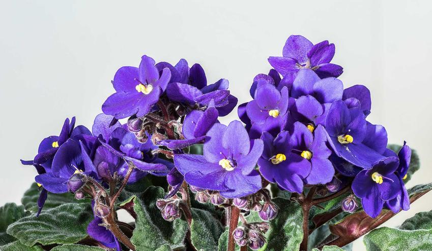 Kwiaty fiołka afrykańskiego w doniczce, czyli sępolii w czasie kwitnienia oraz jego uprawa, pielęgnacja i rozmnażanie