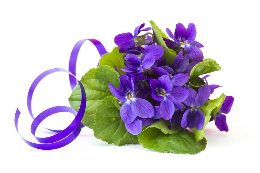 Fiołek wonny lub inaczej fiołek pachnący przewiązany ozdobną wstążką oraz jego uprawa i pielęgnacja w ogrodzie krok po kroku
