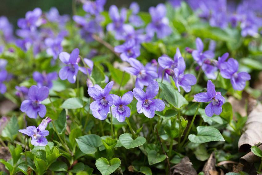 Fiołek wonny albo inaczej fiołek pachnący w ogrodzie w czasie kwitnienia oraz jego uprawa i pielęgnacja