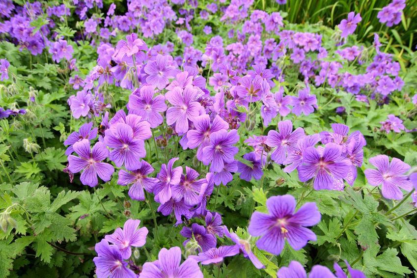 Bodziszek wspaniały, czyli Geranium magnificum lub bodziszek ogrodowy w czasie kwitnienia na fioletowo oraz uprawa i pielęgnacja