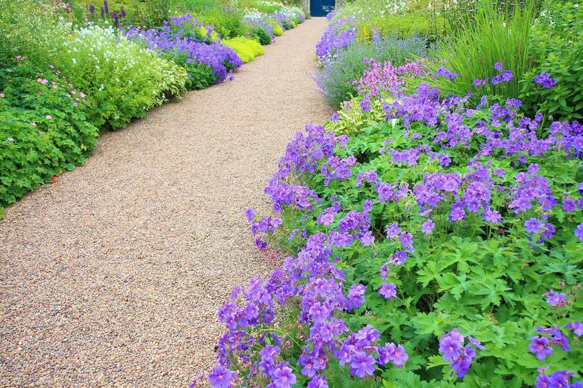Bodziszek wspaniały, czyli Geranium magnificum lub bodziszek ogrodowy w czasie kwitnienia w ogrodowej alejce oraz uprawa i pielęgnacja