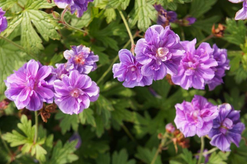 Bodziszek himalajski z łaciny Geranium himalayense gravetye oraz jego uprawa i pielęgnacja w ogrodzie