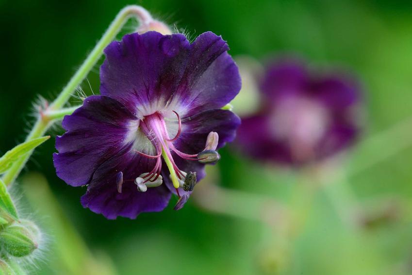 Bodziszek żałobny z łaciny Geranium phaeum jako kwiaty żałobne oraz jego uprawa w ogrodzie i zastosowanie