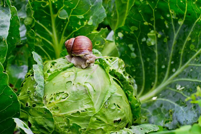 Ślimaki w ogrodzie, w tym także ślimaki bez skorupy oraz skuteczne sposoby na to, jak zlikwidować ślimaki w ogrodzie
