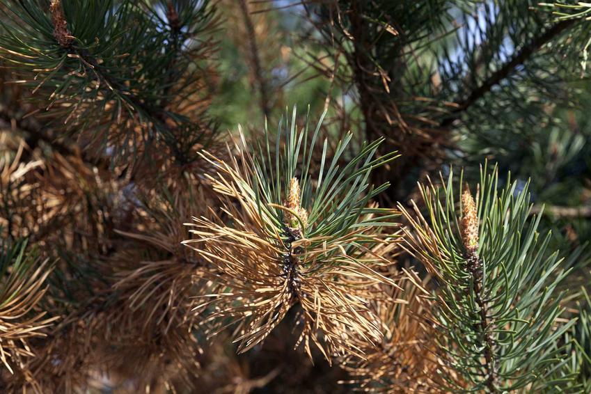 Zwójka sosnkóweczka powodująca zamieranie młodych pędów oraz sposoby na zwalczanie zwójki sosnóweczki i polecane środki ochrony roślin