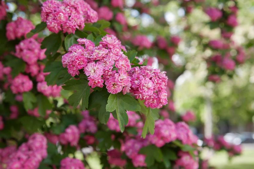 Głóg pośredni, czyli głóg dwuszykowy, a dokłądniej głóg Scarlet w czasie kwitnienia na różowo jako drzewko ozdobne