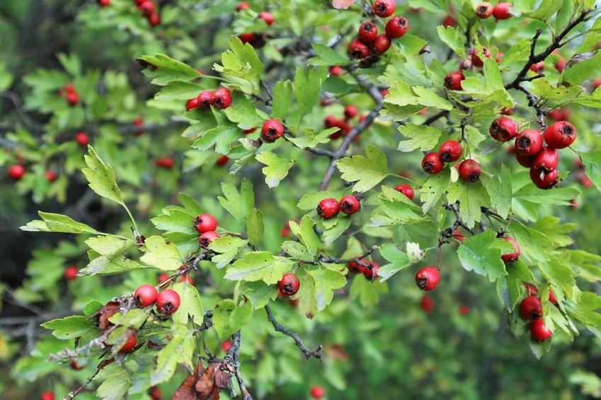 Głóg dwuszyjkowy w czasie owocowania w ogrodzie na różowo, a także jego sadzenie, uprawa i pielęgnacja oraz różnice głóg jednoszyjkowy a dwuszyjkowy