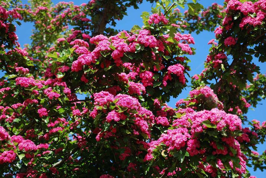Głóg dwuszyjkowy w czasie kwitnienia w ogrodzie na różowo, a także jego sadzenie oraz różnice głóg jednoszyjkowy a dwuszyjkowy