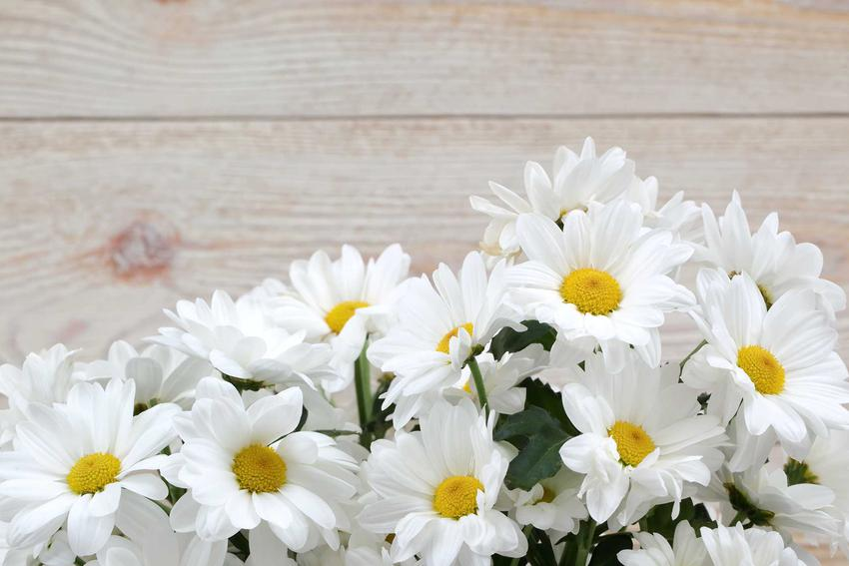 Margerytka ogrodowa jako kwiat cięty oraz krzew margerytki i margarytka na pniu, a także uprawa i pielęgnacja