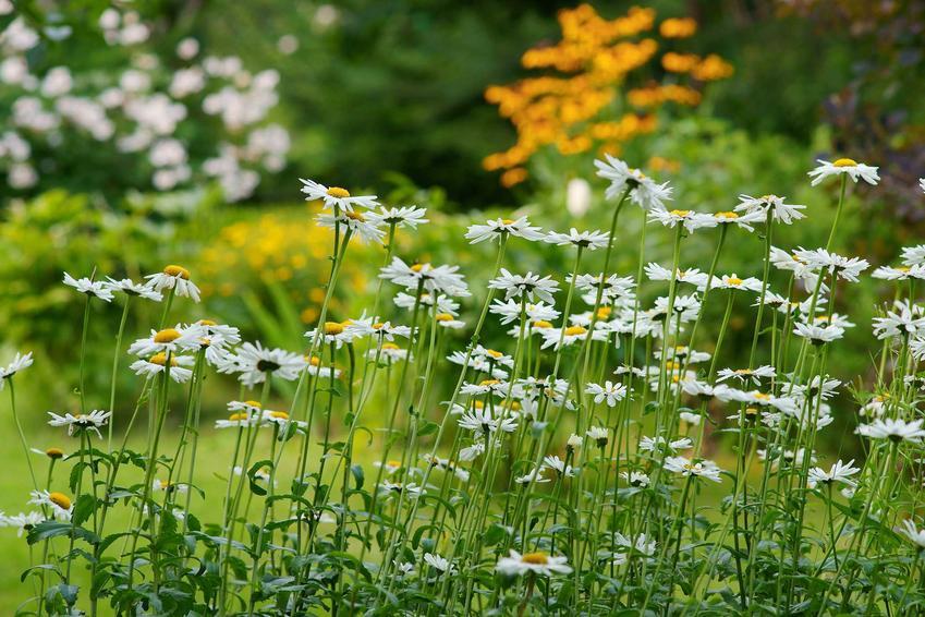 Margerytka w czasie kwitnienia oraz krzew margerytki i margarytka na pniu, a także uprawa i pielęgnacja