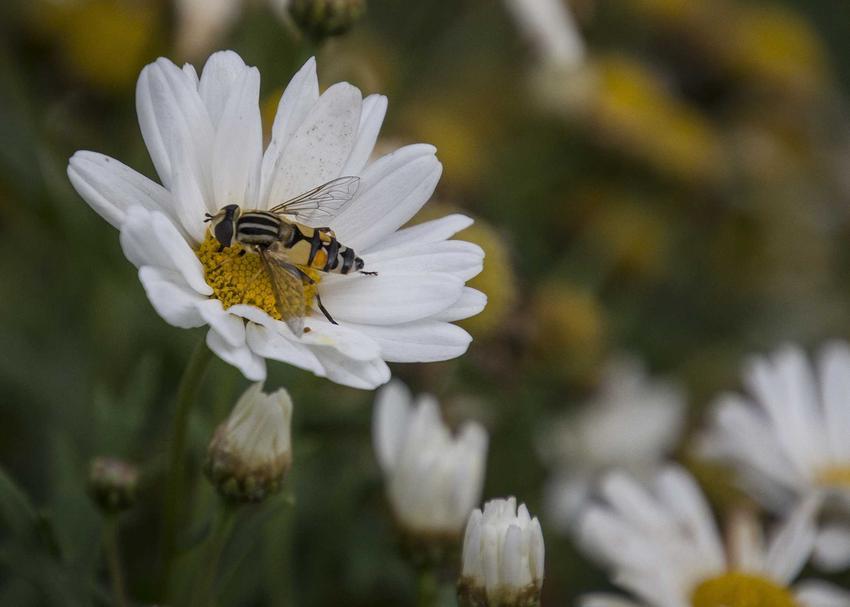 Margerytka ogrodowa i zapylający kwiat owad oraz krzew margerytki i margarytka na pniu, a także uprawa i pielęgnacja