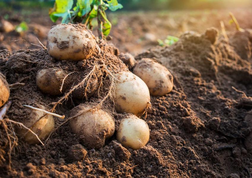 Ziemniaki w ziemi, a także odmiany ziemniaków jadalnych, czyli gatunki ziemniaków uprawianych w Polsce i ich charakterystyka