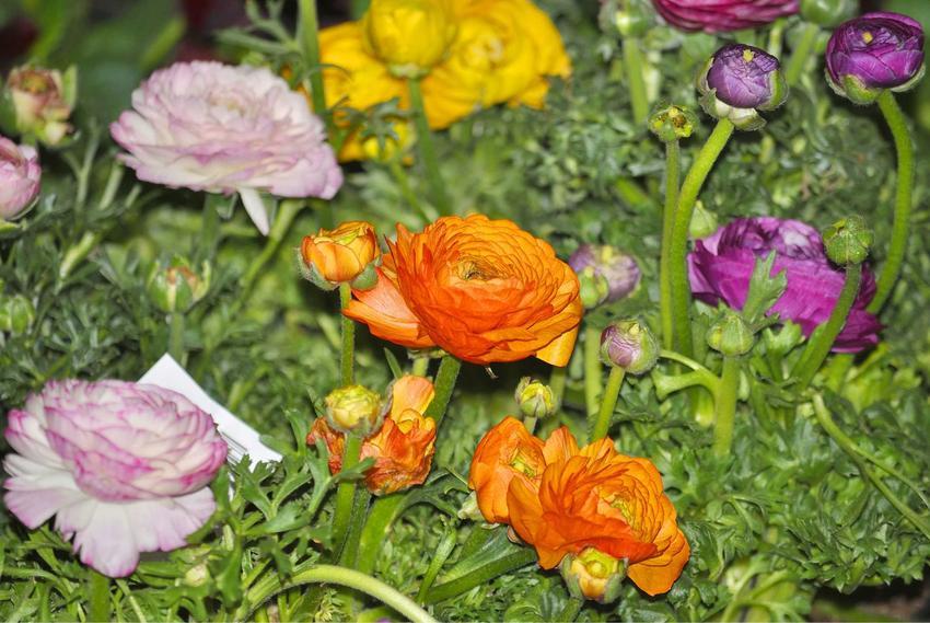 Jaskier ogrodowy, a dokładniej jaskier azjatycki w czasie kwitnienia oraz uprawa jaskrów i jej zasady