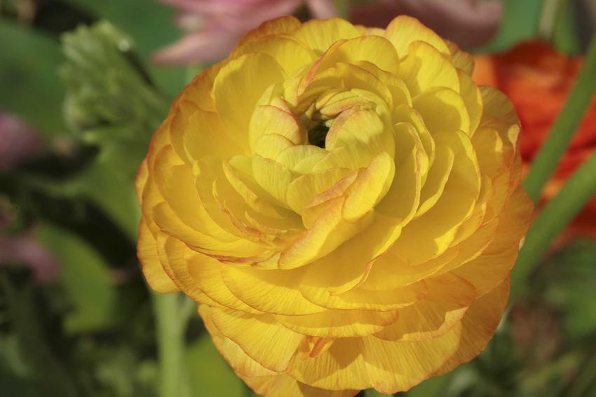 Jaskier ogrodowy, a dokładniej jaskier azjatycki w czasie kwitnienia na żółto oraz uprawa jaskrów i pielęgnacja