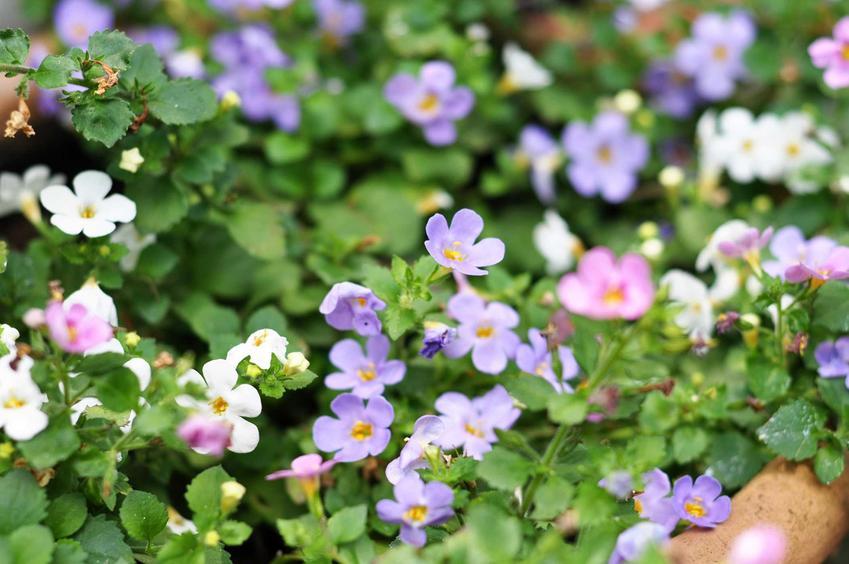 Bakopa drobnolistna podczas kwitnienia czy też inaczej sutera oraz jej rozmnażanie, uprawa na balkonie i pielęgnacja
