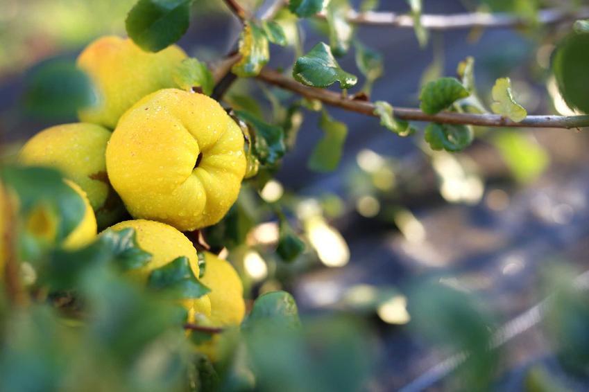 Owoce pigwowca na drzewie oraz różnice między pigwą a pigwowiecem - ich charakterystyka, zastosowanie, warunki uprawy, szdzenie, pielęgnacja