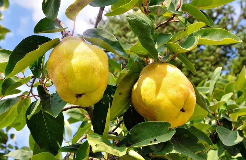 Dojrzałe owoce pigwy na drzewie oraz różnice pigwa a pigwowiec - ich charakterystyka, odmiany, szdzenie, pielegnacja, zastosowanie