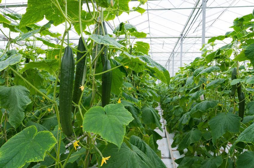 Ogórki szklarniowe oraz sadzenie ogórków szklarniowych, a także uprawa ogoróków szklarniowych