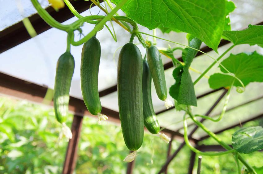 Ogórki szklarniowe oraz sadzenie ogórków szklarniowych, a także uprawa ogoróków szklarniowych i choroby ogórków szklarniowych