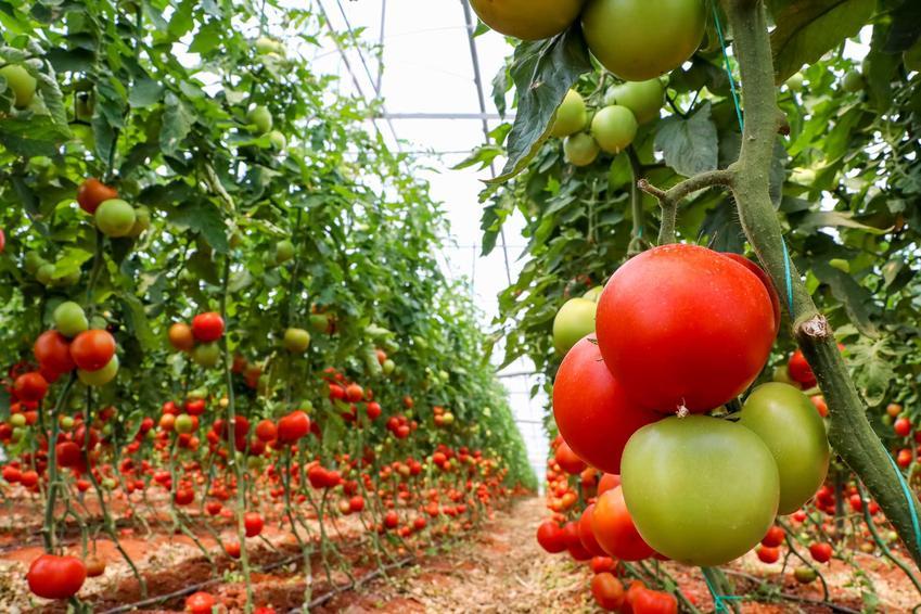 Dojrzewające pomidory w szklarni, czyli uprawa pomidorów szklarniowych oraz porady na temat uprawy pomidorów krok po kroku